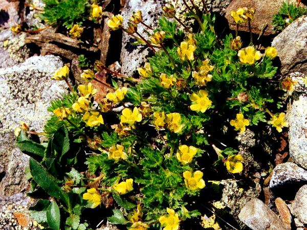 Dwarf Mountain Cinquefoil (Potentilla Robbinsiana) https://www.sagebud.com/dwarf-mountain-cinquefoil-potentilla-robbinsiana