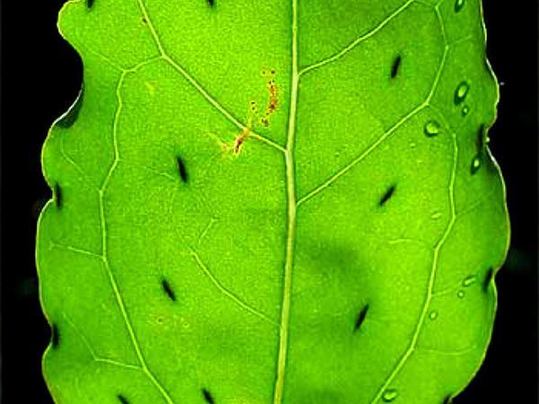 Poreleaf (Porophyllum) https://www.sagebud.com/poreleaf-porophyllum