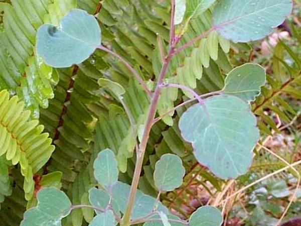 Yerba Porosa (Porophyllum Ruderale) https://www.sagebud.com/yerba-porosa-porophyllum-ruderale/