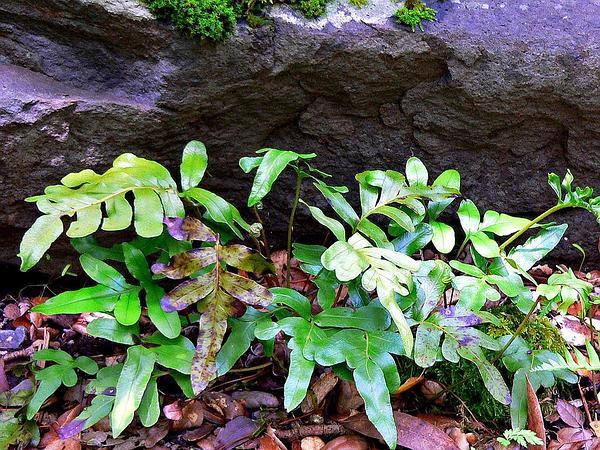 Leathery Polypody (Polypodium Scouleri) https://www.sagebud.com/leathery-polypody-polypodium-scouleri