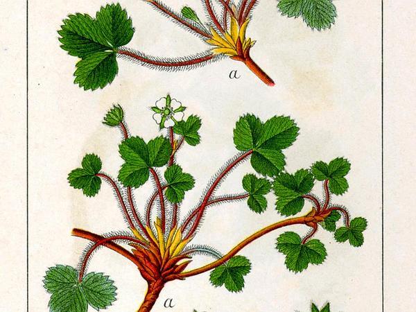 Strawberryleaf Cinquefoil (Potentilla Sterilis) https://www.sagebud.com/strawberryleaf-cinquefoil-potentilla-sterilis