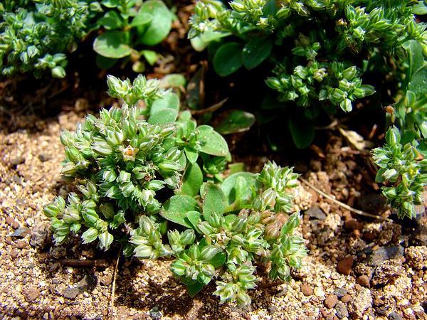 Fourleaf Manyseed (Polycarpon Tetraphyllum) https://www.sagebud.com/fourleaf-manyseed-polycarpon-tetraphyllum