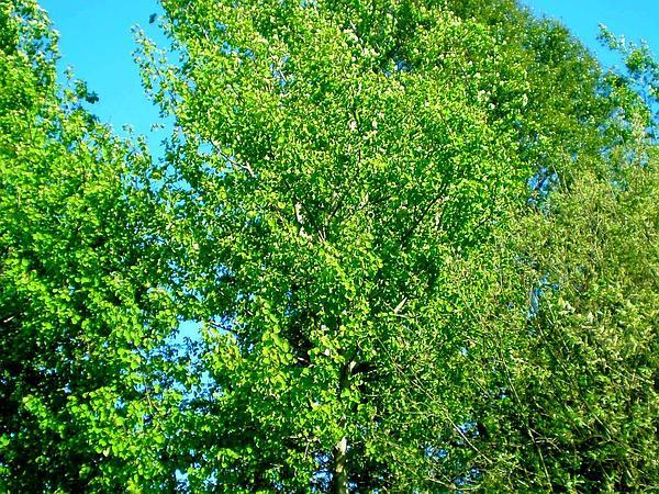 European Aspen (Populus Tremula) https://www.sagebud.com/european-aspen-populus-tremula/