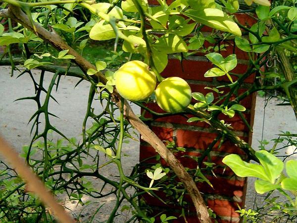 Hardy Orange (Poncirus Trifoliata) https://www.sagebud.com/hardy-orange-poncirus-trifoliata