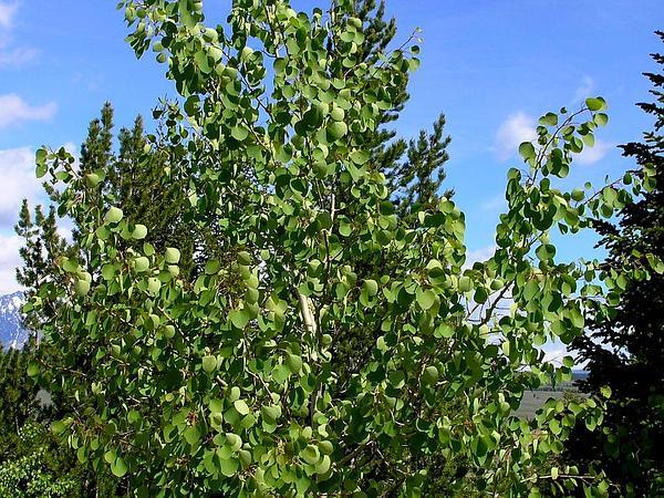 Quaking Aspen (Populus Tremuloides) https://www.sagebud.com/quaking-aspen-populus-tremuloides