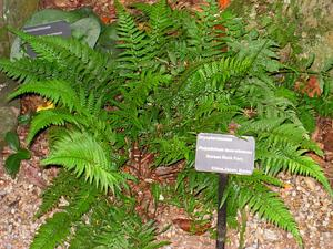 Korean Rockfern