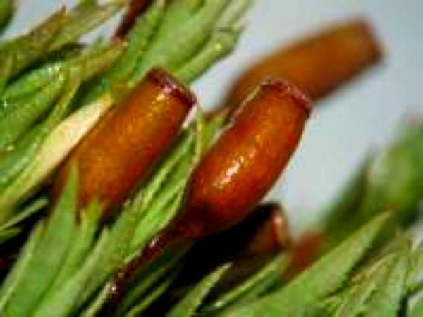 Pogonatum Moss (Pogonatum Urnigerum) https://www.sagebud.com/pogonatum-moss-pogonatum-urnigerum