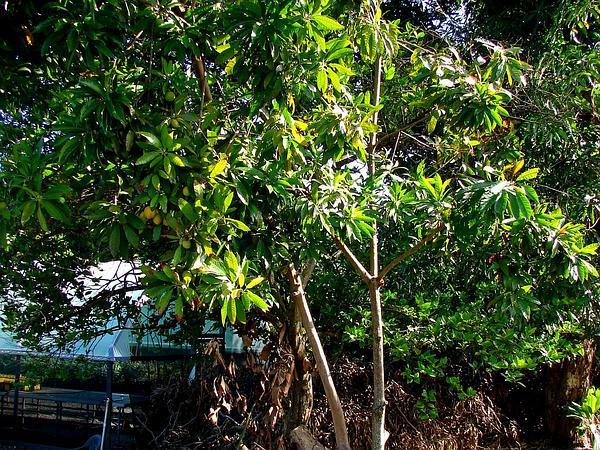 Pouteria (Pouteria) https://www.sagebud.com/pouteria-pouteria