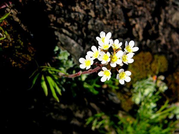 Alpine Bistort (Polygonum Viviparum) https://www.sagebud.com/alpine-bistort-polygonum-viviparum
