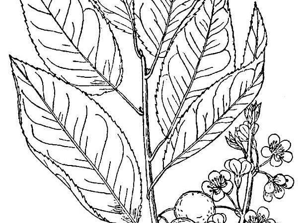 Allegheny Plum (Prunus Alleghaniensis) https://www.sagebud.com/allegheny-plum-prunus-alleghaniensis/
