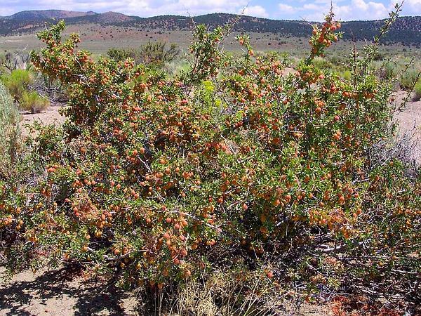 Desert Peach (Prunus Andersonii) https://www.sagebud.com/desert-peach-prunus-andersonii/