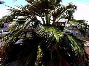 Maui Pritchardia