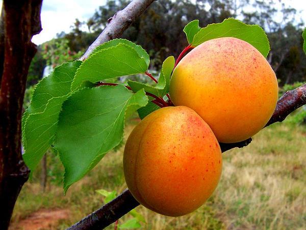 Apricot (Prunus Armeniaca) https://www.sagebud.com/apricot-prunus-armeniaca