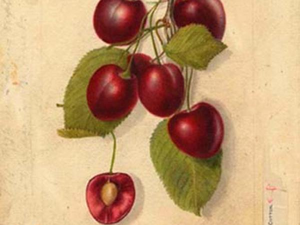 Sweet Cherry (Prunus Avium) https://www.sagebud.com/sweet-cherry-prunus-avium/