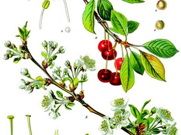 Sour Cherry (Prunus Cerasus) https://www.sagebud.com/sour-cherry-prunus-cerasus