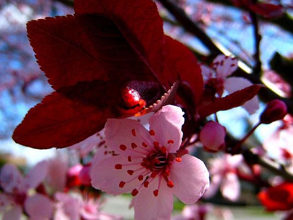 Cherry Plum (Prunus Cerasifera) https://www.sagebud.com/cherry-plum-prunus-cerasifera/