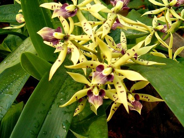 Clamshell Orchid (Prosthechea Cochleata) https://www.sagebud.com/clamshell-orchid-prosthechea-cochleata