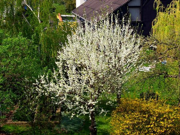 European Plum (Prunus Domestica) https://www.sagebud.com/european-plum-prunus-domestica