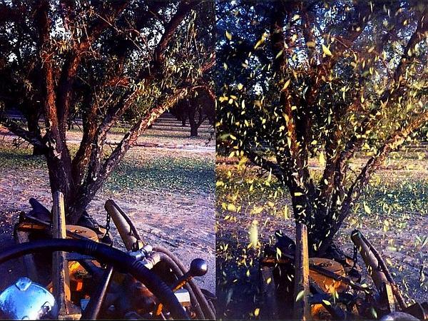 Sweet Almond (Prunus Dulcis) https://www.sagebud.com/sweet-almond-prunus-dulcis/