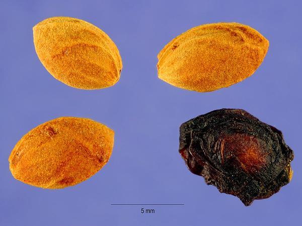 Bitter Cherry (Prunus Emarginata) https://www.sagebud.com/bitter-cherry-prunus-emarginata