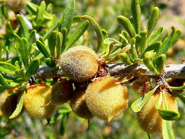 Desert Almond (Prunus Fasciculata) https://www.sagebud.com/desert-almond-prunus-fasciculata