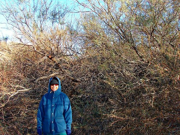 Honey Mesquite (Prosopis Glandulosa) https://www.sagebud.com/honey-mesquite-prosopis-glandulosa