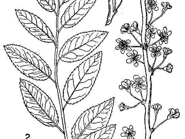 Oklahoma Plum (Prunus Gracilis) https://www.sagebud.com/oklahoma-plum-prunus-gracilis