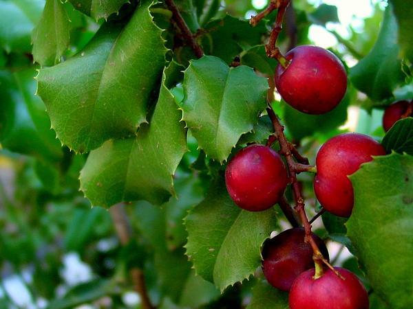 Hollyleaf Cherry (Prunus Ilicifolia) https://www.sagebud.com/hollyleaf-cherry-prunus-ilicifolia