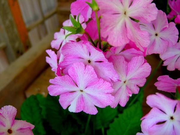 Primrose (Primula) https://www.sagebud.com/primrose-primula