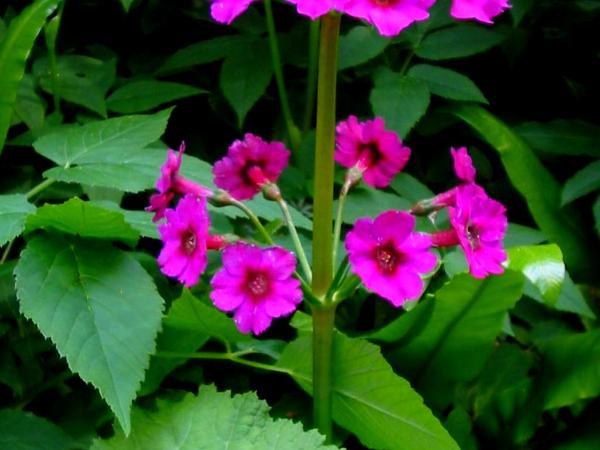 Japanese Primrose (Primula Japonica) https://www.sagebud.com/japanese-primrose-primula-japonica