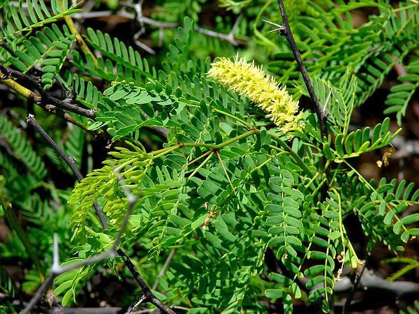 Mesquite (Prosopis Juliflora) https://www.sagebud.com/mesquite-prosopis-juliflora
