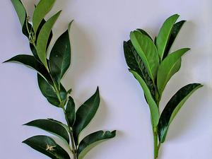 Cherry Laurel
