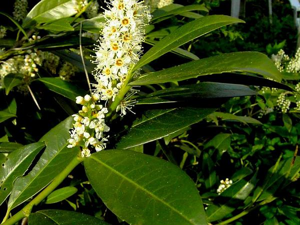 Cherry Laurel (Prunus Laurocerasus) https://www.sagebud.com/cherry-laurel-prunus-laurocerasus