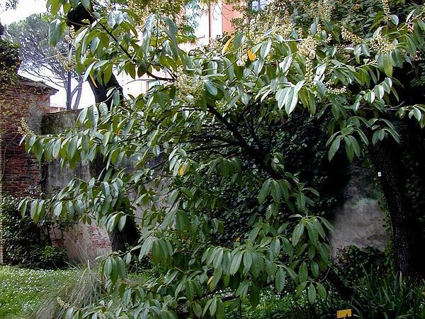 Cherry Laurel (Prunus Laurocerasus) https://www.sagebud.com/cherry-laurel-prunus-laurocerasus