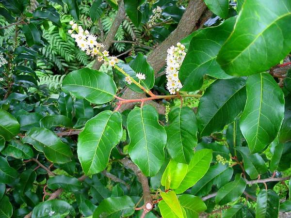 Portugal Laurel (Prunus Lusitanica) https://www.sagebud.com/portugal-laurel-prunus-lusitanica