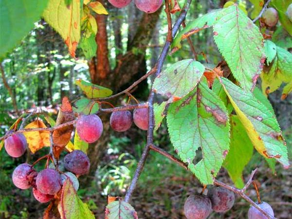 Mexican Plum (Prunus Mexicana) https://www.sagebud.com/mexican-plum-prunus-mexicana