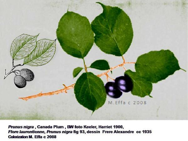 Canadian Plum (Prunus Nigra) https://www.sagebud.com/canadian-plum-prunus-nigra
