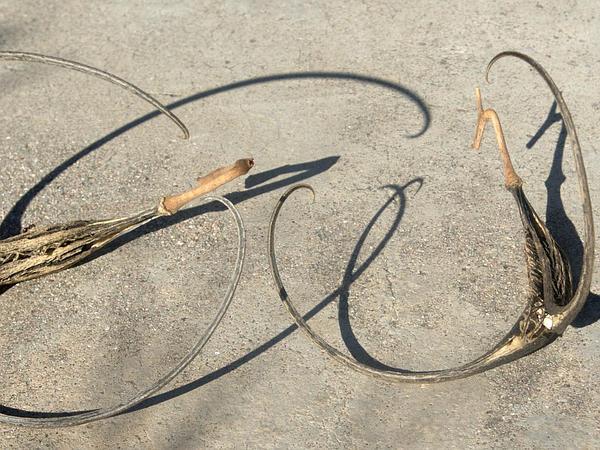 Doubleclaw (Proboscidea Parviflora) https://www.sagebud.com/doubleclaw-proboscidea-parviflora