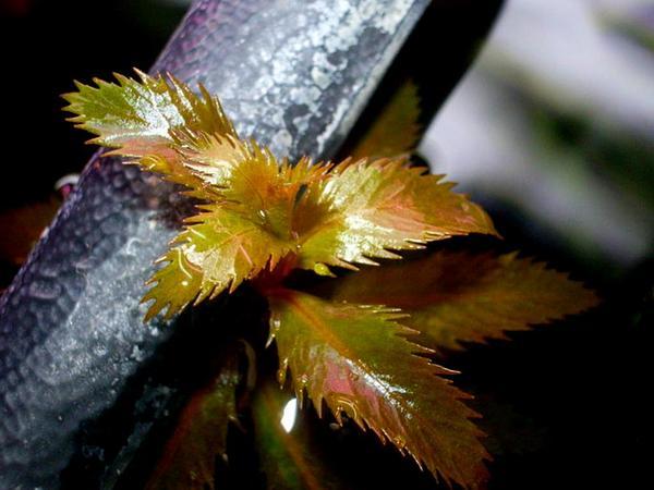 Marsh Mermaidweed (Proserpinaca Palustris) https://www.sagebud.com/marsh-mermaidweed-proserpinaca-palustris
