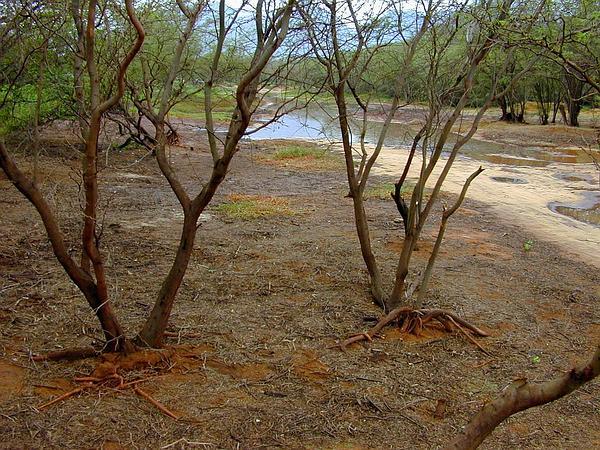 Kiawe (Prosopis Pallida) https://www.sagebud.com/kiawe-prosopis-pallida