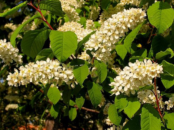 European Bird Cherry (Prunus Padus) https://www.sagebud.com/european-bird-cherry-prunus-padus