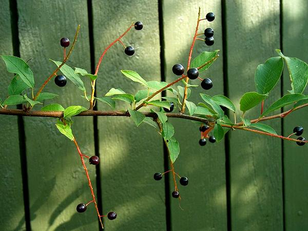 European Bird Cherry (Prunus Padus) https://www.sagebud.com/european-bird-cherry-prunus-padus
