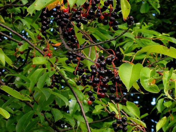Black Cherry (Prunus Serotina) https://www.sagebud.com/black-cherry-prunus-serotina/
