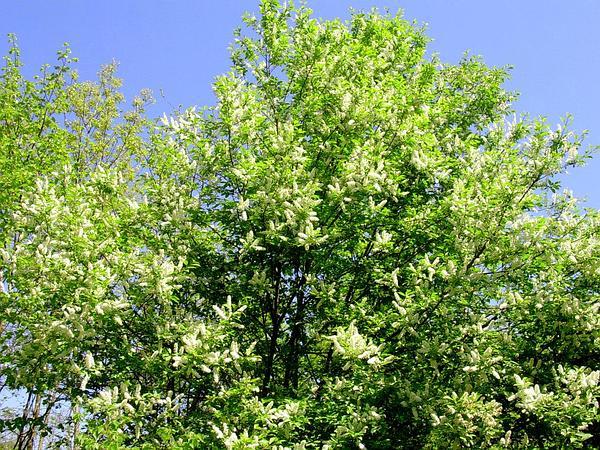 Black Cherry (Prunus Serotina) https://www.sagebud.com/black-cherry-prunus-serotina