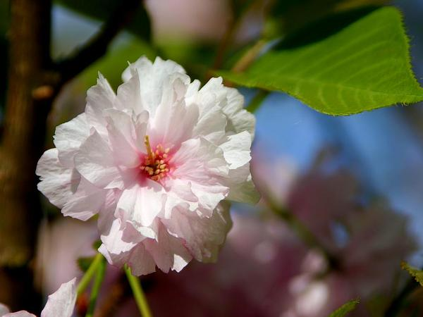 Japanese Flowering Cherry (Prunus Serrulata) https://www.sagebud.com/japanese-flowering-cherry-prunus-serrulata