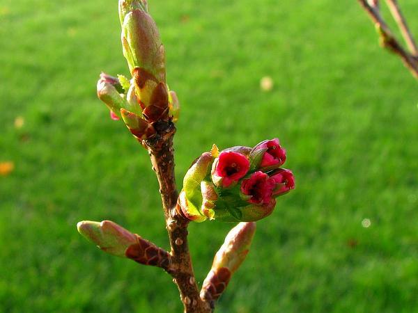 Japanese Flowering Cherry (Prunus Serrulata) https://www.sagebud.com/japanese-flowering-cherry-prunus-serrulata