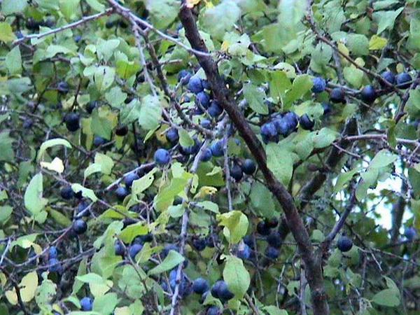 Blackthorn (Prunus Spinosa) https://www.sagebud.com/blackthorn-prunus-spinosa