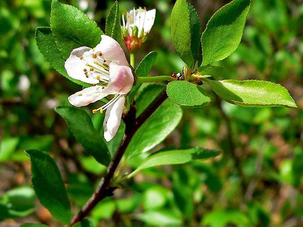 Klamath Plum (Prunus Subcordata) https://www.sagebud.com/klamath-plum-prunus-subcordata
