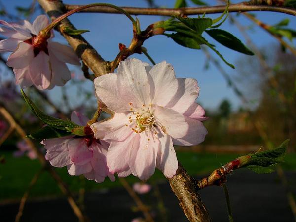 Winter-Flowering Cherry (Prunus Subhirtella) https://www.sagebud.com/winter-flowering-cherry-prunus-subhirtella