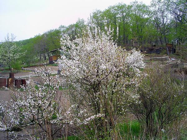 Nanking Cherry (Prunus Tomentosa) https://www.sagebud.com/nanking-cherry-prunus-tomentosa